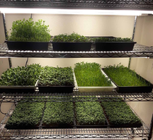 stainless steel shelves with trays containing seedling plants.